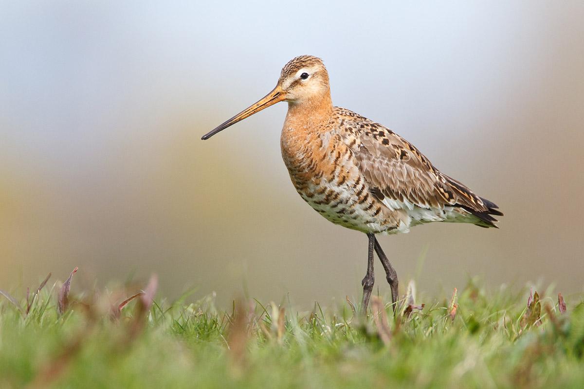 reddegrutto.nl-crowdfundactie-vogelwerkgroep-geesteren